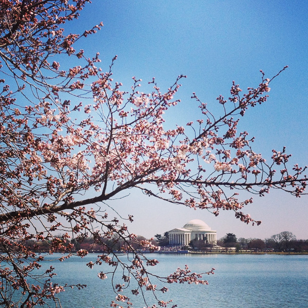 Cherry Blossoms at the Capital